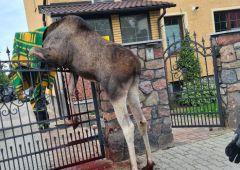 Łoś nabił się na ogrodzenie posesji przy Alei Piłsudskiego