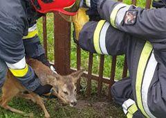 Strażacy przyszli z pomocą uwięzionej sarnie