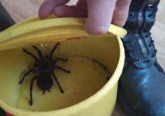 Olbrzymi pająk wydostał się z terrarium